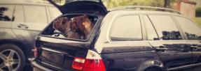 chiens-transport