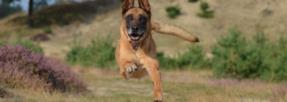malinois-chien-renifleur