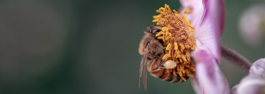 abeille-pollen-fleur