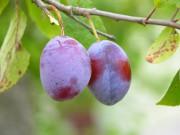 La prune qui rembourse les automobilistes verbalisés