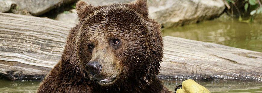 Après l'attaque de l'ours, le chien a été conduit chez un vétérinaire
