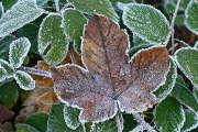 feuilles-gel