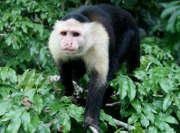 singe-capucin-Panama