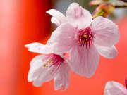 Japon-cerisier