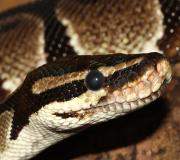 Auto : gare au python dans le coffre !
