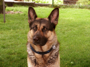 Le chien préféré des Français est : le berger allemand