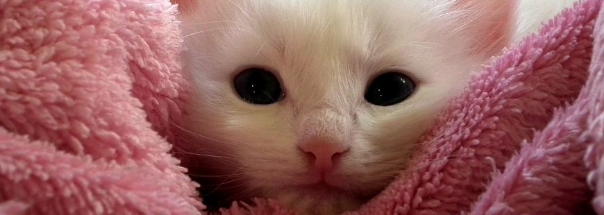 chat-petit