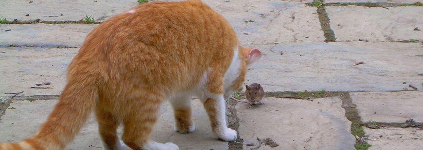 Pourquoi le chat ramène-t-il des souris ?