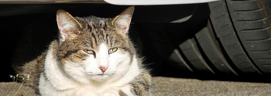 Comment un chat peut-il voyager coincé dan sle moteur d'une voiture ?