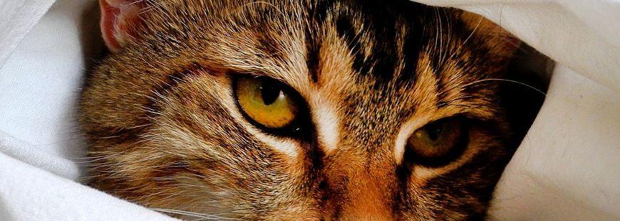 Les vétérinaires alertent contre le typhus du chat