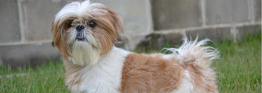 chien-animal-shihtzu