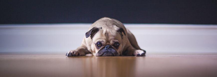 Les chiens aideraient leur maître à rester en bonne santé