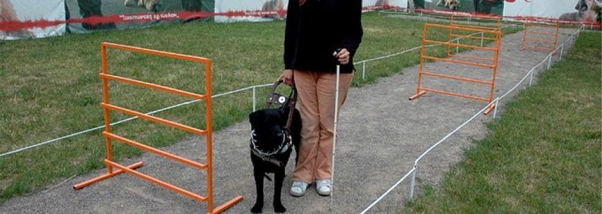 La formation des chiens d'aveugle est longue et complexe