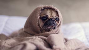 chien-serviette