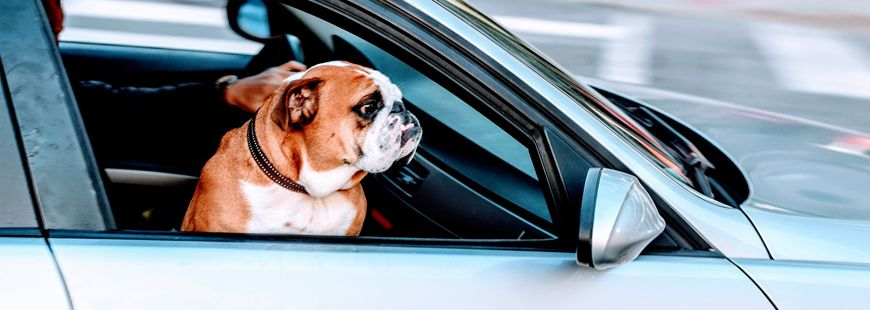 chien-voiture