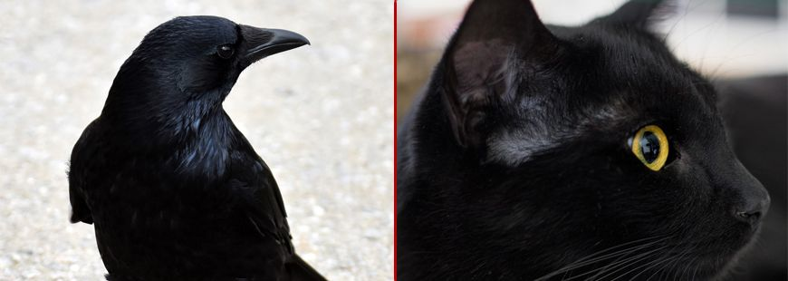 corbeau-vs-chat