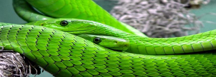 Les serpents tuent près de 138 000 personnes chaque année