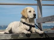 Mutuelle chien : prenez soin de votre labrador
