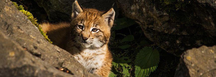 Lynx-animaux