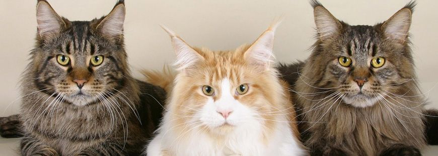 maine-coon-chat
