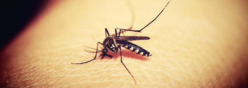 moustique-anopheles