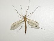 Le virus zika arriverait vite en France