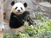 Hao Hao et Xing Hui, des pandas qui ont une bonne assurance décès