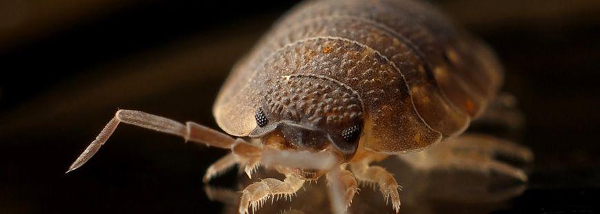 punaisedelit-insecte