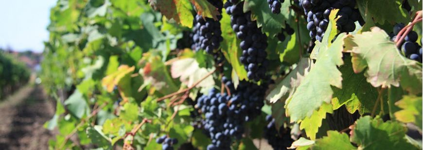 Le vin est-il dangereux pour notre santé ?