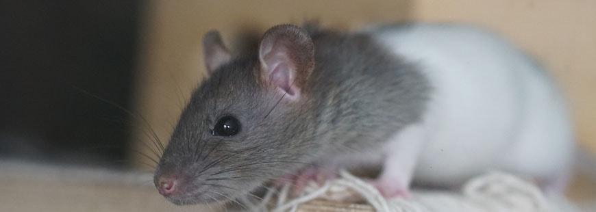 Des rats ont causé la panne d'automobiles et de motos