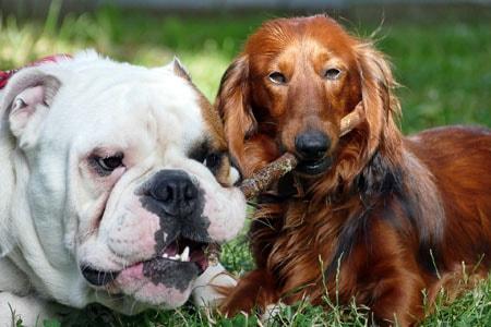 teckel-bulldog