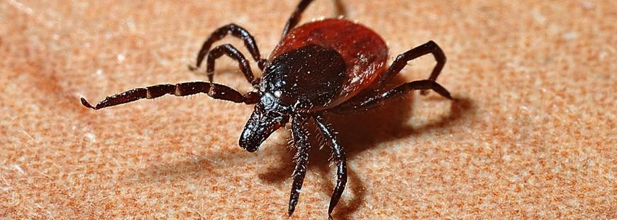 Les tiques sont responsables de la propagation de la maladie de Lyme