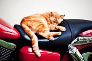 Pour voyager votre chat doit avoir : un passeport, un carnet de santé et une puce électronique