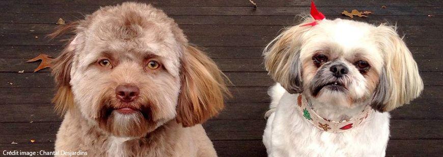 Yogi, le chien qui ressemble à un caniche et à un humain